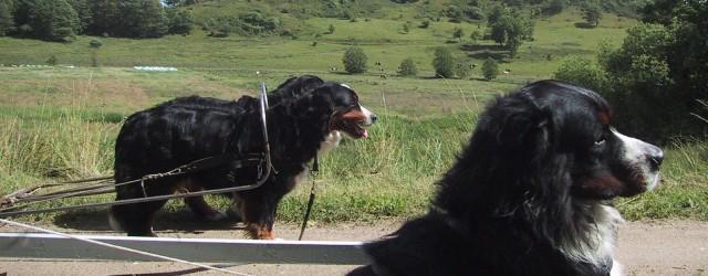 Berner Sennen er en hund, der kan deltage i mange forskellige aktiviteter, at anskaffe sig en Berner og ikke foretage sig noget med den er efter min mening synd.