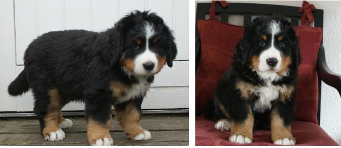 Romeo, 7 uger. Vægt: 7550 g