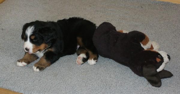 Romeo og Rosa hviler. 4 uger og Romeo har overhalet.